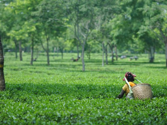 Keep shining that light- a visit to the Tea Gardens of Assam.
