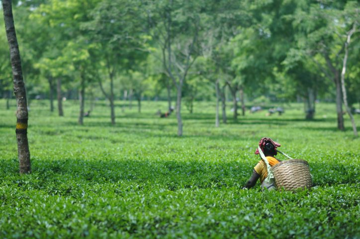 tea-picker-fields-assam